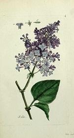 Lilas illustration